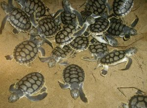 Flatback Turtle hatchlings dig out of the nest together at night. Photo Mackay Region Natural Environment (FlickR).
