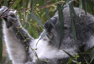 Koalas are fussy about their gum leaves. Photo Steve Parish.