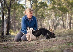 Rowena Hamer, a Univeristy of Tasmania PhD Candidate, conducting research with devils in the Midlands. Photo Cesar Peñaherrera Palma.