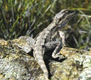 A dwarf bearded dragon at Peniup Creek Reserve. Photo Chinch Gryniewicz.