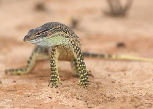 The Sand Goanna is also known as the Racehorse Goanna. Pictured at Charles Darwin Reserve, photo Ben Parkhurst.