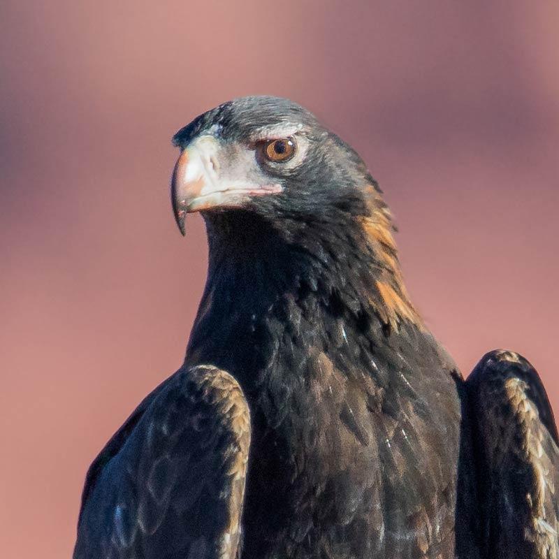 Wedge Tailed Eagles Bush Heritage Australia