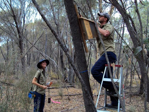 Gareth Watkins and Nicole Willers installing a phascogale nesting box