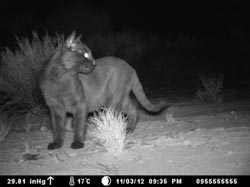 A feral cat photographed by a remote sensor camera on Chales Darwin Reserve, WA.