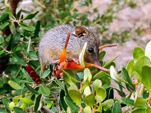 A Honey Possum enjoying habitat on Monjebup North. Photo Angela Sanders.