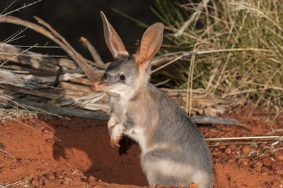 The Greater Bilby was once on Hamelin. In future perhaps it can be returned. Photo by Jiri Lochman.