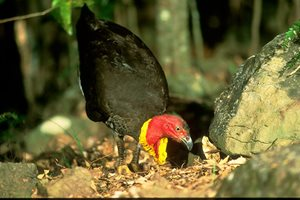 A Brush Turkey explores leaf litter at Currumbin. Photo Wayne Lawler / EcoPix.
