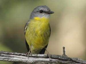 An Eastern Yellow Robin. Photo Stuart Harris.