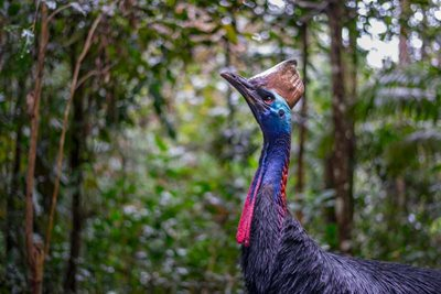 A Southern Cassowary. Photo Steve Parish.