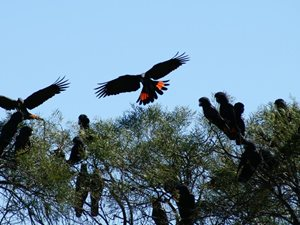 A mob of Red-tailed Black Cockatoos. Photo Leanne Hales.