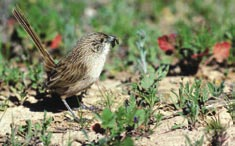 Thick-billed grasswren. Photo Graeme Chapman.