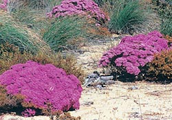 Vibrant pink of Verticordia sp. at the prospective Bush Heritage reserve in south-west WA. Photo Margaret Quicke.