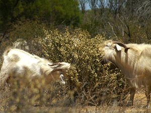 Feral goats photographed on Eurardy Reserve (WA) by Paul and Leanne Hales in 2005.