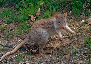 Rufous Bettong at Mareeba Tropical Savanna and Wetland Reserve, Queensland. Photo Bernard Dupont.*