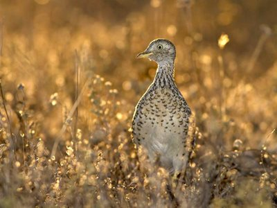 Plains-Wanderer. Photo Lachlan Hall.