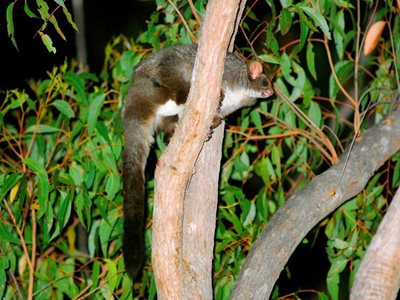 Greater Gliders are a feature of Burrin Burrin. Photo: Wayne Lawler / EcoPix.