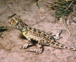 Grassland earless dragon, a species we hope to find at Scottsdale. Photo Peter Robertson / Wildlife profiles