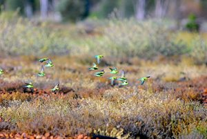 A flock of Budgerigars in grasslands, Edgbaston, Qld. Photo Wayne Lawler/EcoPix.