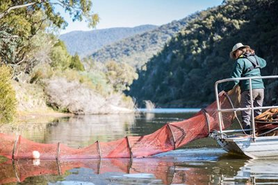 ACT Parks staff member pulling out fish net from the Murrumbidgee River on Scottsdale Reserve. Photo Annette Ruzicka.