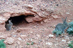 A motion sensing camera captured both wombats and rabbits using this burrow