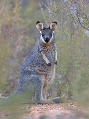 A young Western Brush Wallaby, also known as a Black-gloved Wallaby or Kwoora. Photo Georgina Steytler.