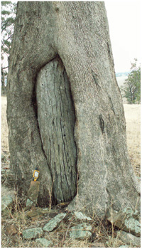 Aboriginal scar tree. Photo David Baker-Gabb.