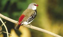 Diamond firetail. Photo Wayne Lawler / EcoPix.