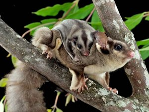 Sugar Gliders. Photo Steve Parish/Nature Connect.