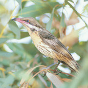 Spiny-cheeked honeyeater. Photo Wayne Lawler/EcoPix.