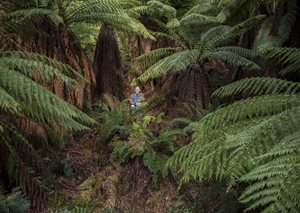 Bob Brown is dwarfed by tree ferns at our Liffey Valley Reserves. Photo Annette Ruzicka.