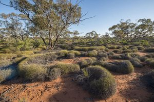 Spinifex country at Hamelin Reserve, WA. Photo Marie Lochman.