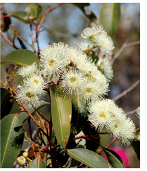Flowering eucalypt at Yarrabee Wesfarmers Reserve. Photo Keith Tuffley.