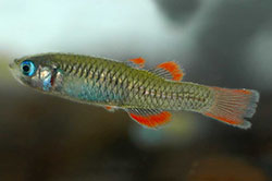 Red-finned blue-eye fish