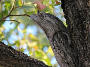 Tawny Frogmouths are masters of disguise. Photo by volunteer Tom Sjolund at Goonderoo Reserve.