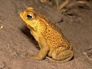 A Cane Toad. Photo by Nic Gambold.