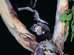 A Squirrel Glider at Tarcutta. Photo Wayne Lawler / EcoPix.