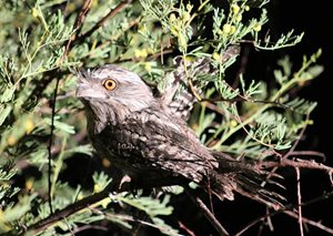 A Tawny Frogmouth photographed on Edgbaston Reserve by volunteer Anthony Darlington.