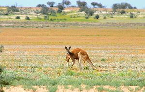 A Red Kangaroo at Ethabuka. Photo Wayne Lawler / EcoPix.