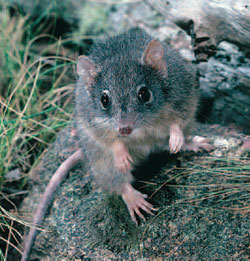 Yellow-footed antechinus. Photo Andrew Henley/Larus.