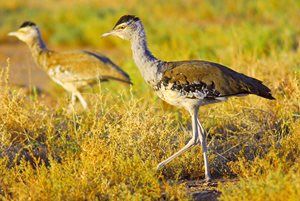 Bustards in native grasslands at Edgbaston. Photo Wayne Lawler/EcoPix.