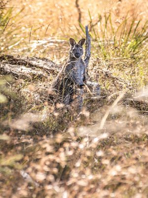 A Bennetts Wallaby in the Midlands. Photo Annette Ruzicka.