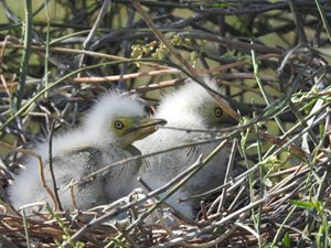 Great Egret chicks at Yantabulla Swamp. Photo by Brian Redman.
