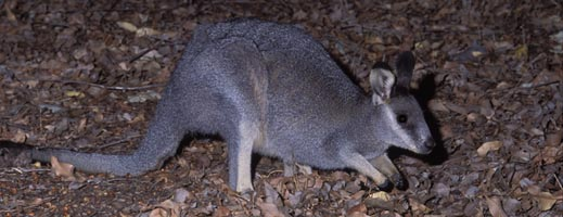 Black-gloved wallaby at Gondwana Link