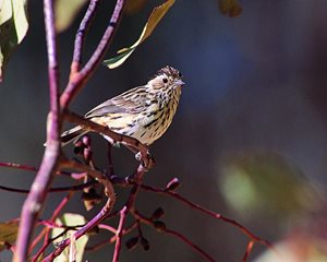 A Speckled Warbler is among the birds to enjoy Tarcutta. Photo Wayne Lawler / EcoPix.