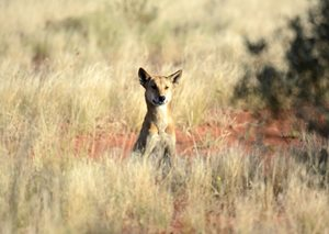 A Dingo at the ready at Cravens Peak Reserve, Qld. Photo Ian Mayo.