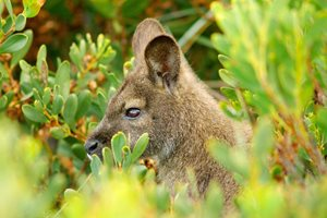 A Bennetts Wallaby amongst coastal wattle at Friendly Beaches. Photo Wayne Lawler / EcoPix.