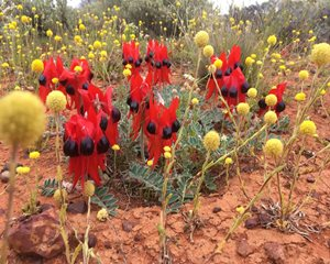 Natives such as Sturt's Desert Pea benefit from weed control. Photo Kate Taylor.
