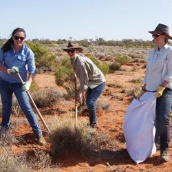 Volunteers pulling buffel grass