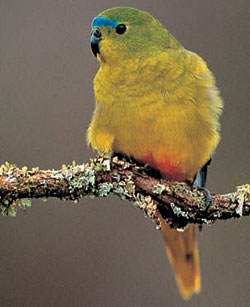 Orange-bellied parrot. Photo Dave Watts.