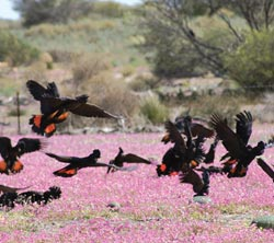 Red-tailed black cockatoos in flowering Parakeelya. Photo Paul and Leanne Hales.